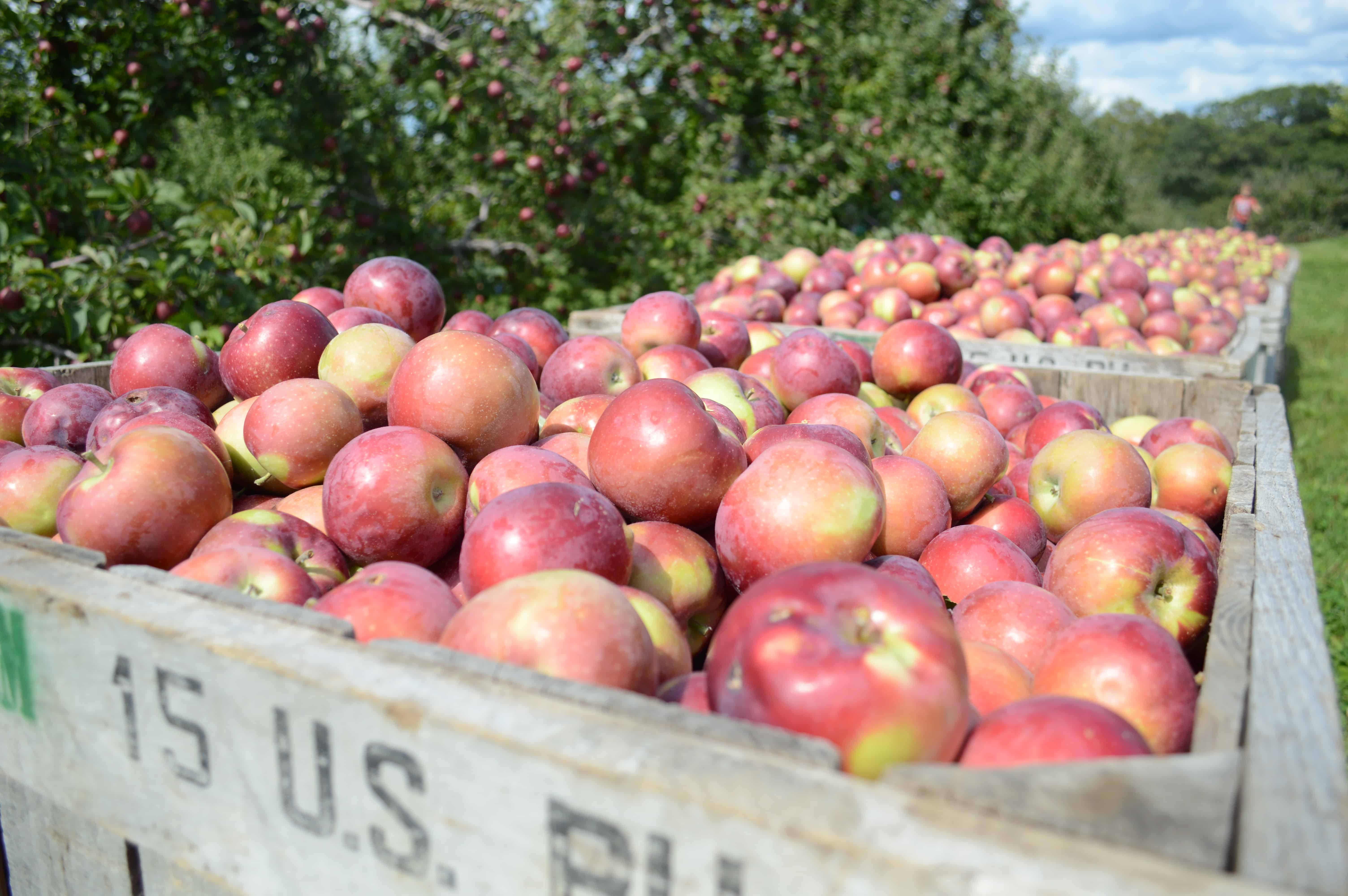 The 8 Best Places To Go Apple Picking In Vermont New England