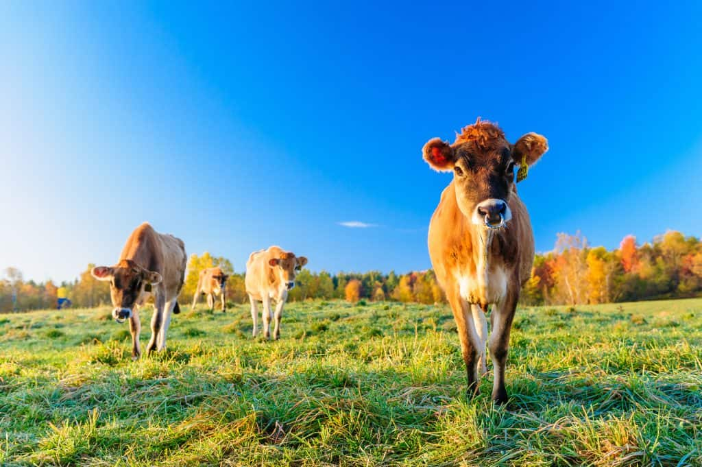 closeup of cow looking at camera in green field with blue sky, more cows in distance