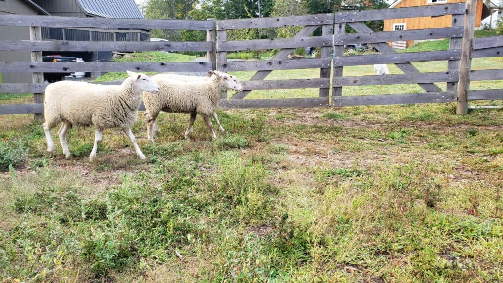 two sheep walking by a fence - experience on a vermont farm stay
