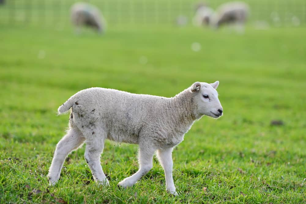 Scenic View of a Spring Lamb Running in a Green Pasture
