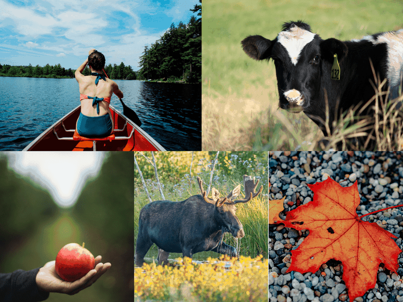 things to do in new england - collage of outdoor images, girl in canoe, black and white cow, moose in a field, orange fall leaf