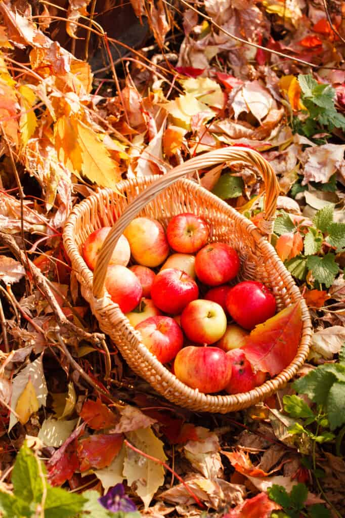 apples in a basket on the fall ground