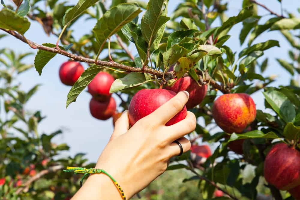 new england apple picking - hand plucking bright red apple from an apple tree