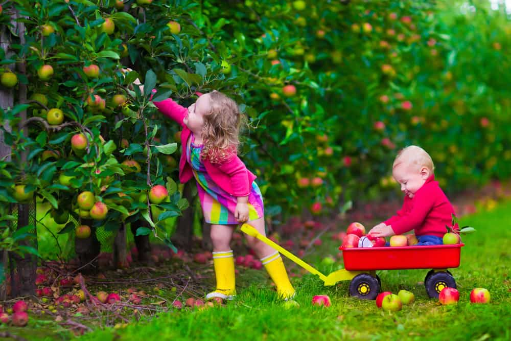 Child picking apples on a farm. Little girl and boy play in apple tree orchard. Kids pick fruit in autumn with a wheel barrow. Toddler and baby eat fruits at fall harvest. Outdoor fun for children.