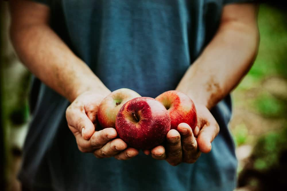 fruit and vegetables. Farmers hands with freshly harvested apples.