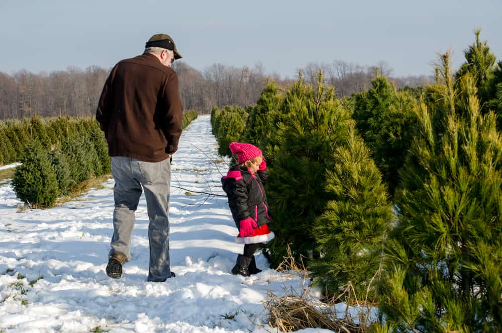 christmas tree farms in new hampshire - grandpa and young child standing in wintry tree farm