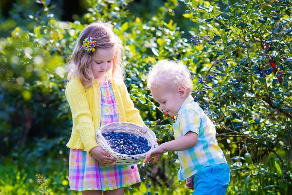 Kids picking fresh berries on blueberry field. Children pick blue berry on organic farm. Little girl and baby boy play outdoors in fruit orchard. Toddler and preschooler gardening. Summer family fun.