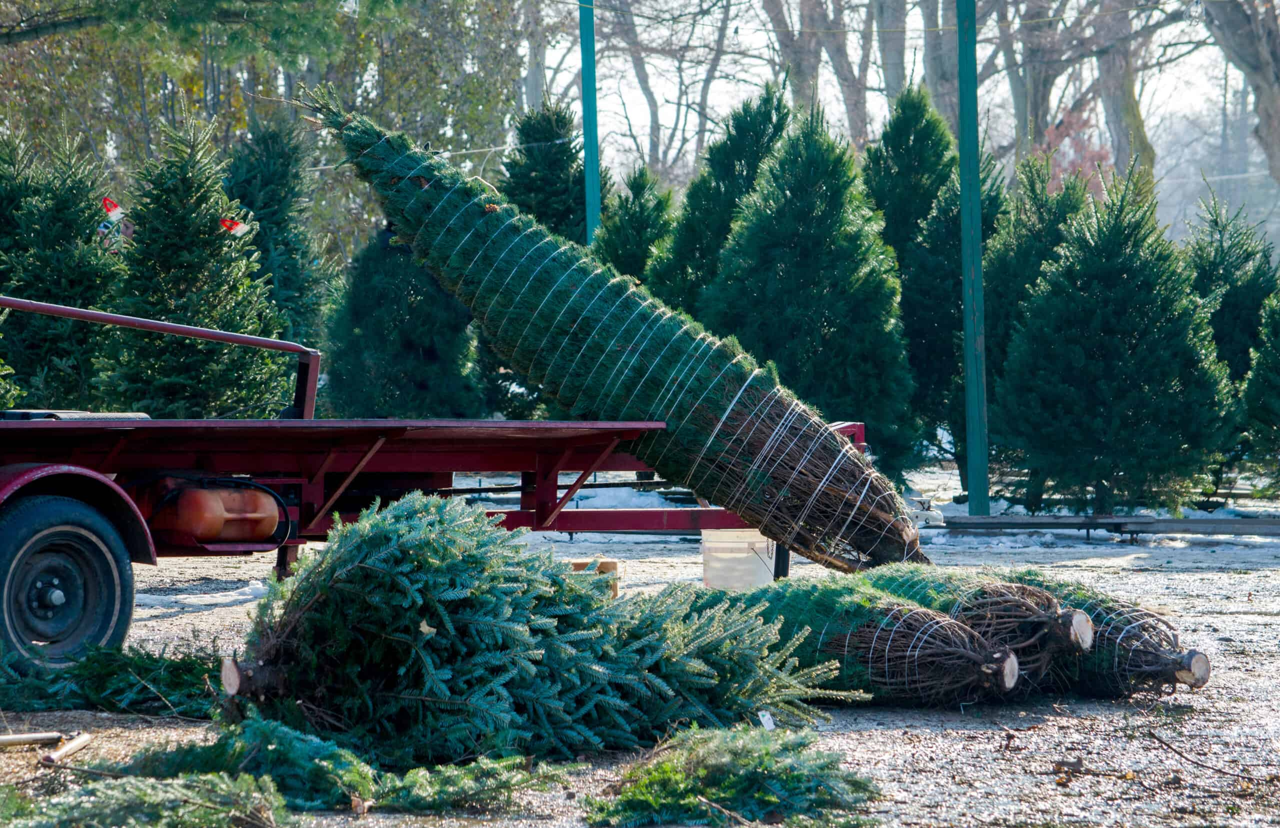 christmas tree farms in connecticut - image of pine trees being wrapped