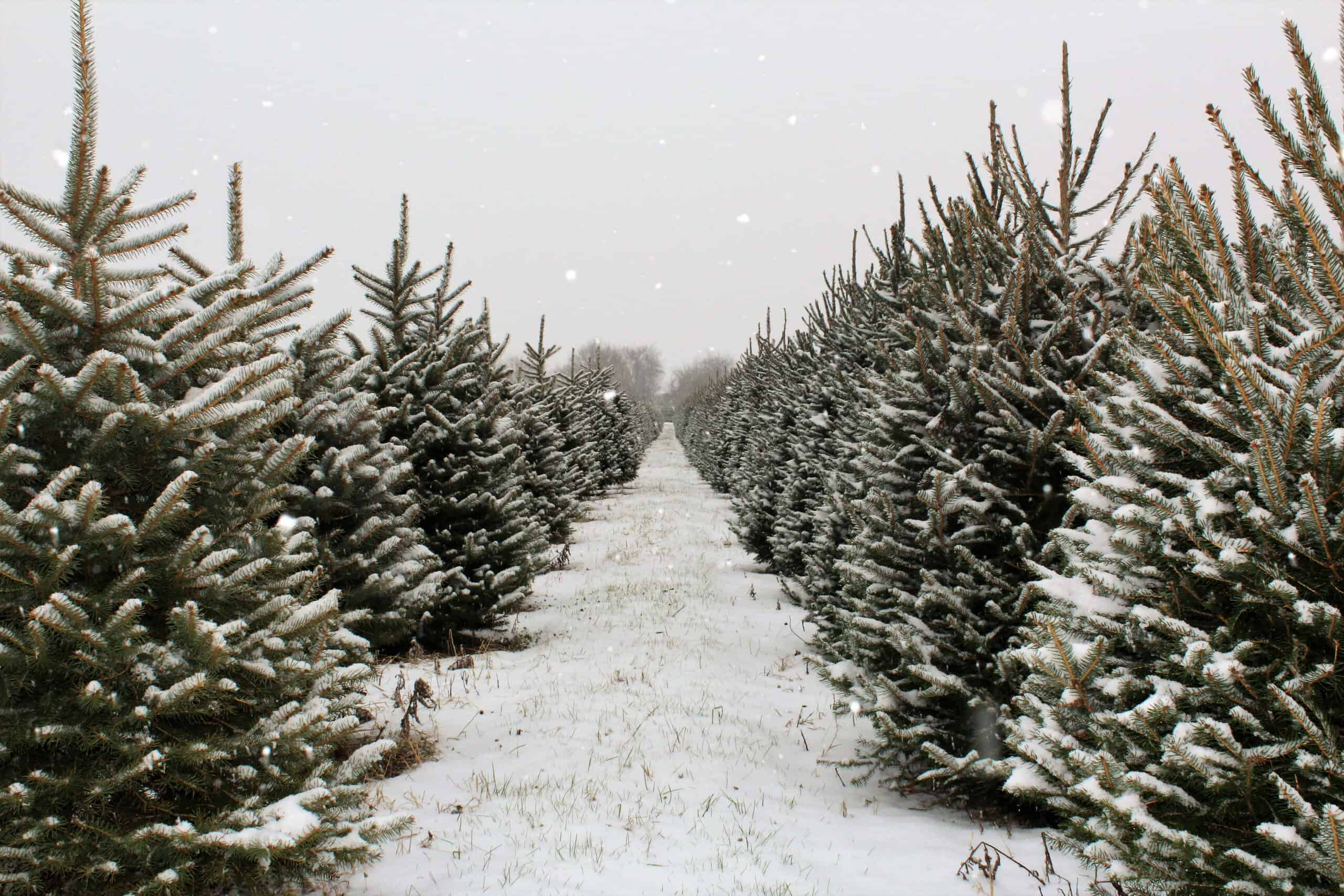 christmas tree farms in maine - image of snowy pine trees in a row