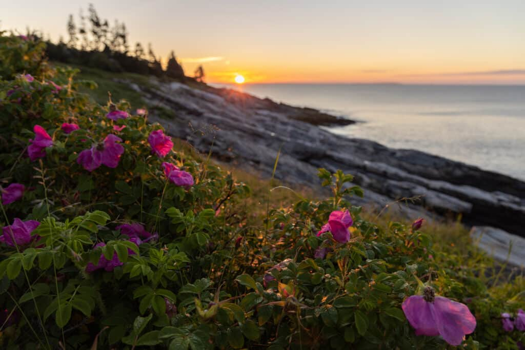 sunrise in maine - image of sun rising over the rocky maine coast, bright pink flowers in the foreground