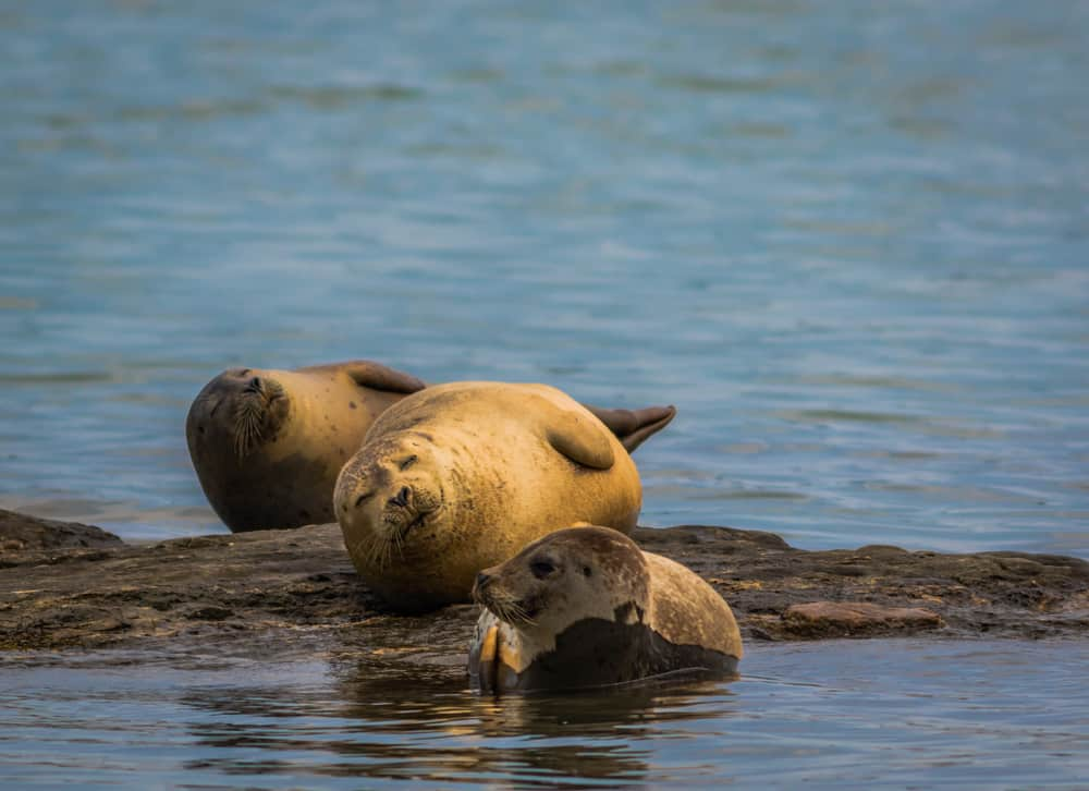 sleepy looking seals relaxing on a rock in a maine river