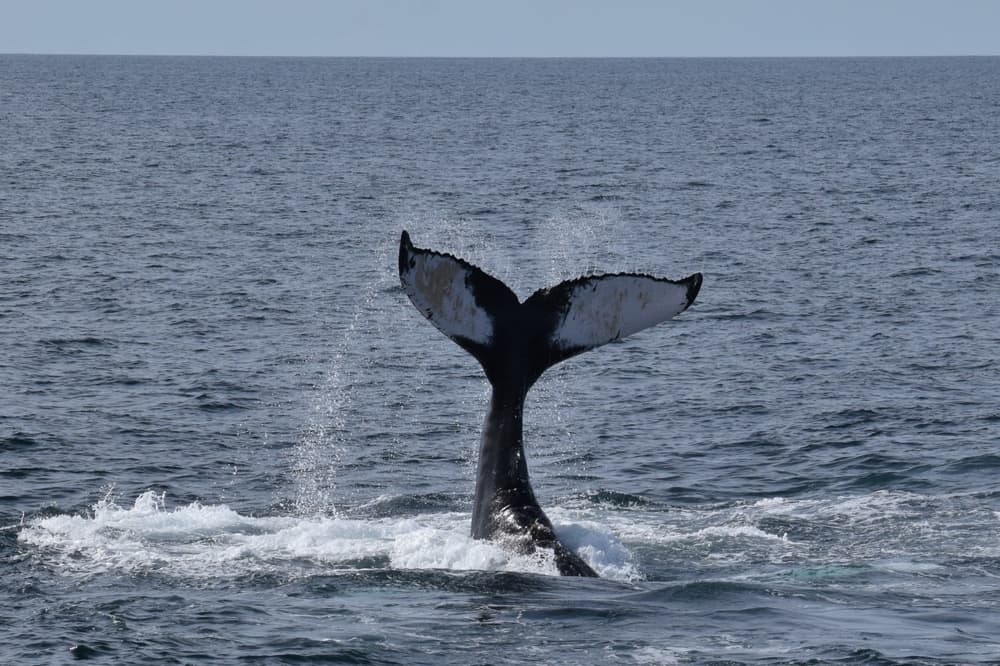 Whale Watching in Cape Cod - humpback whale tail emerging from blue ocean water