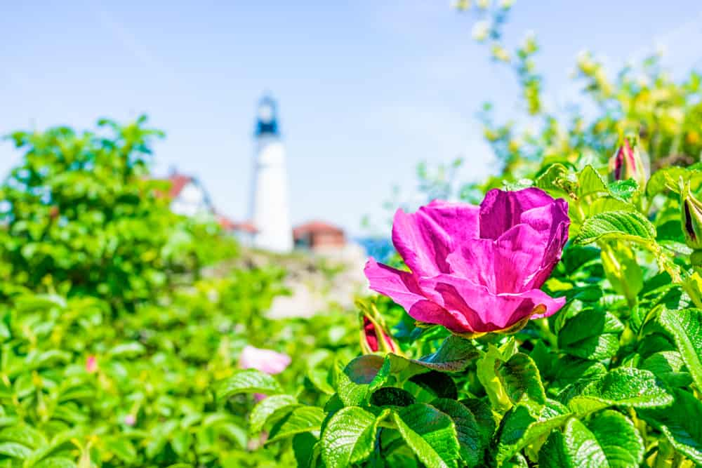 the portland lighthouse seen in the background with a bright pink flower and bush in the foreground: summer in maine