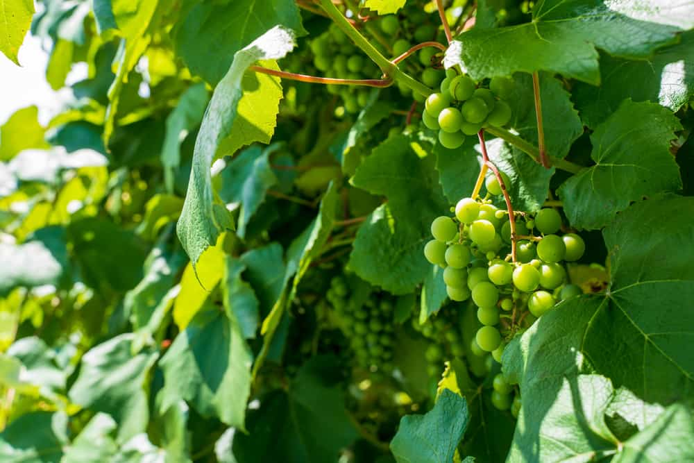 new england wineries - close up image of green grapes on a vine branch