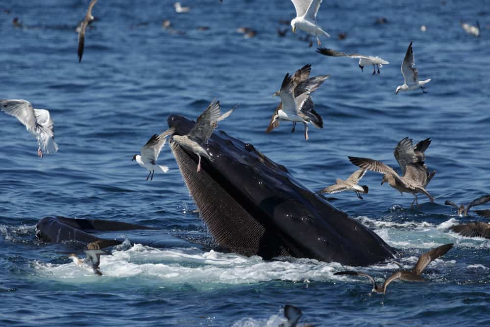 whale watching in massachusetts - humpback whale lifts its head out of the water while seabirds surround it