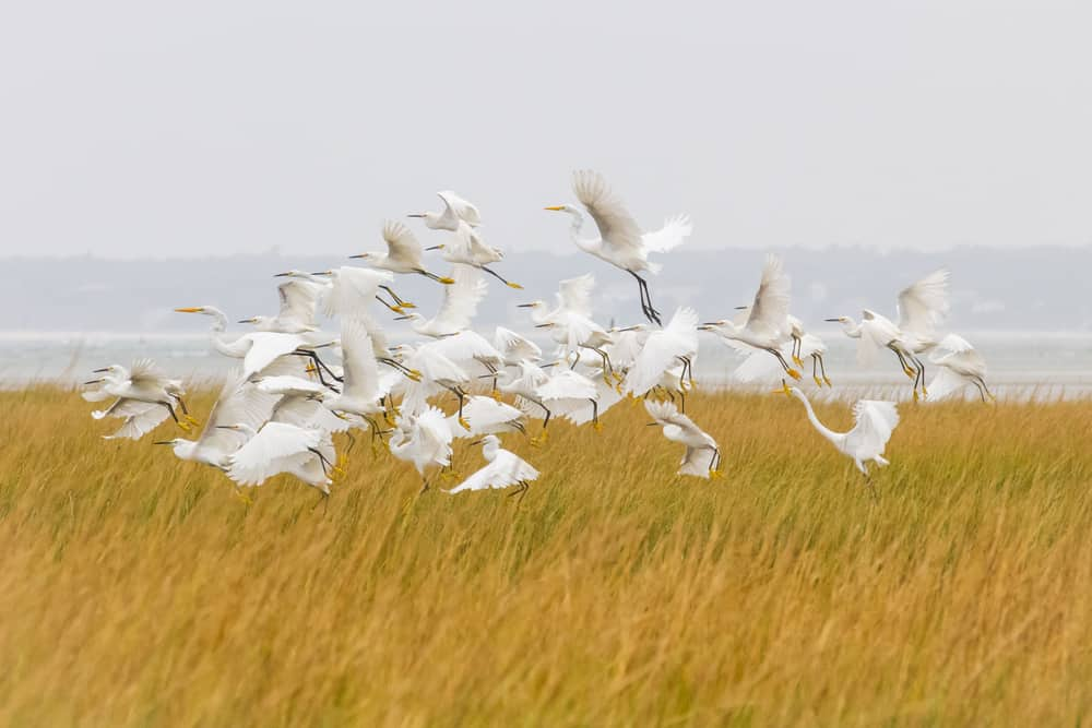 a flock of white sea birds flying together over green sea grass