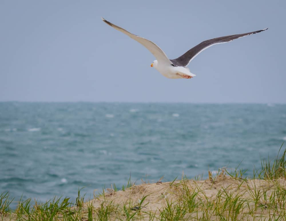 best beaches in nantucket - seagull flying over blue water