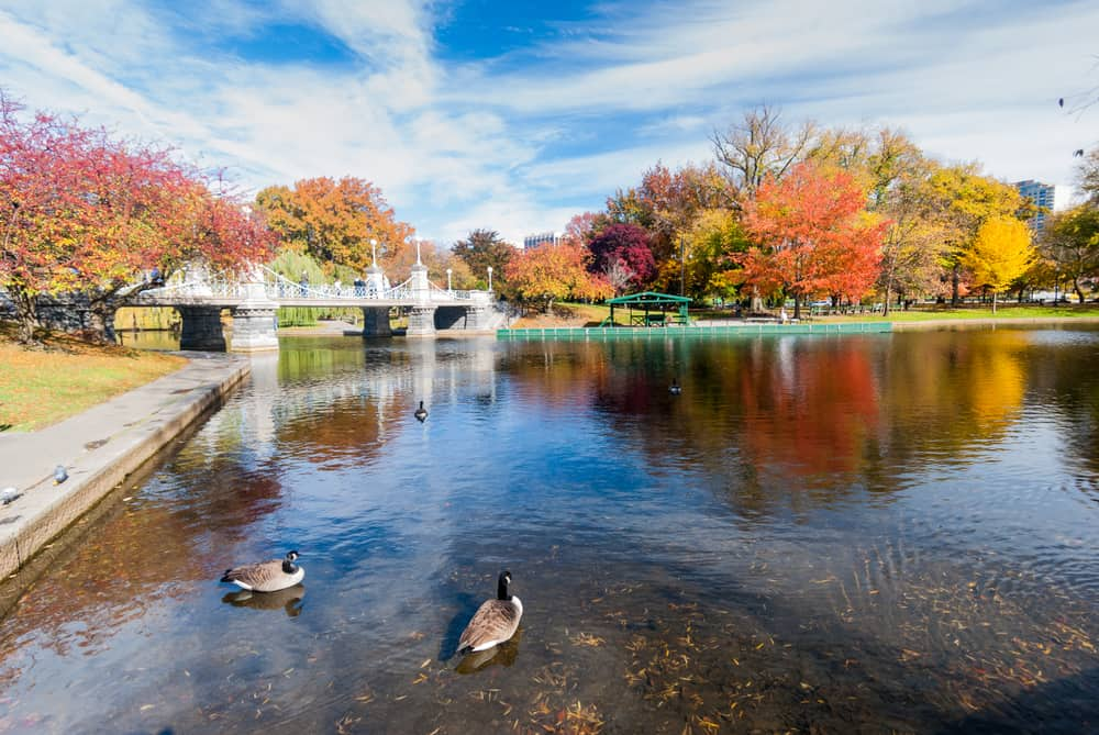 A picture of a bridge over a lake in Boston Common during the autumn, geese are in the pond