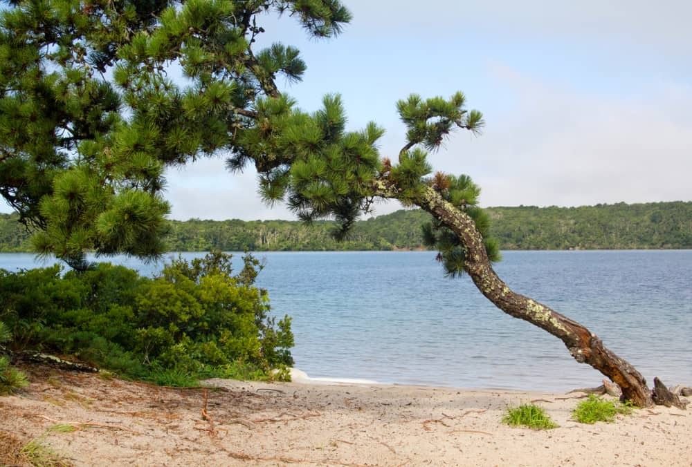 a scrubby pine tree leans to the left on a sandy beach in front of a calm blue lake