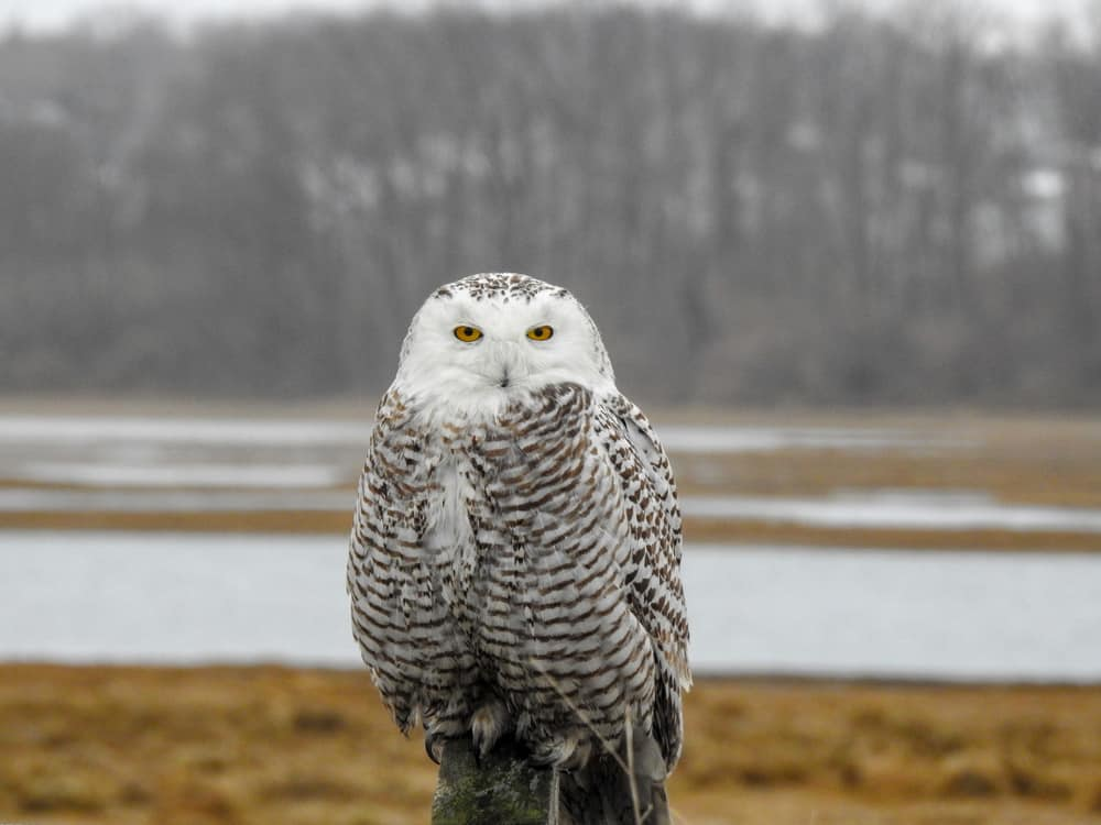 a stoic snowy owl sitting in a wintry park with a pond and dead trees beyond