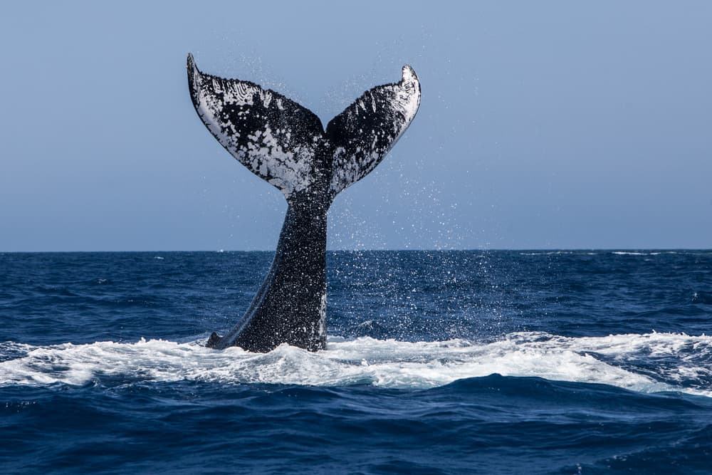 humpback whale tail sticking out of dark blue ocean