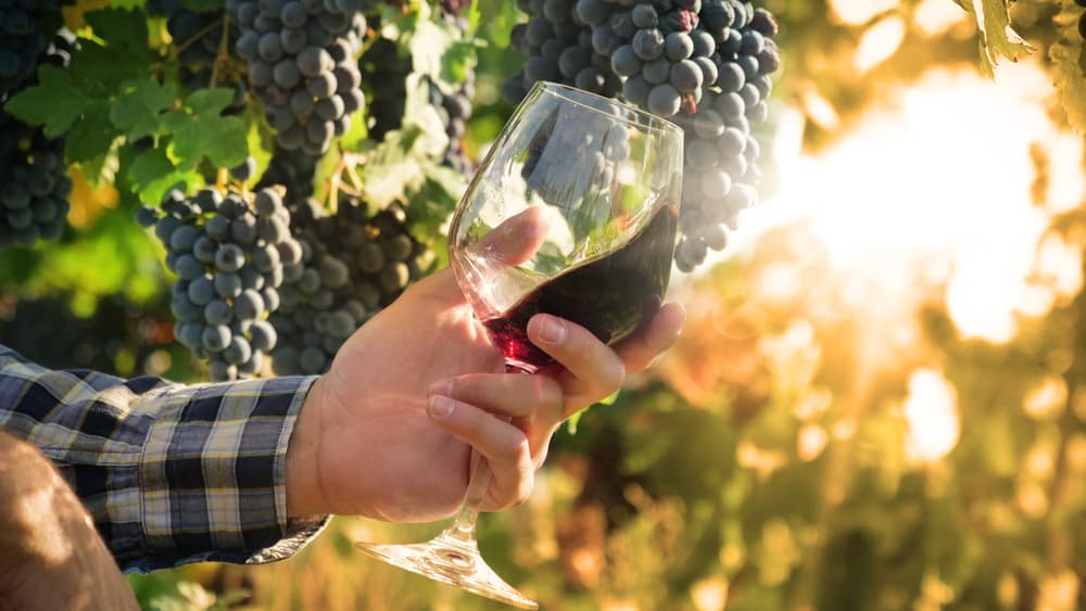 hand holding glass of red wine in a sunlit vineyard