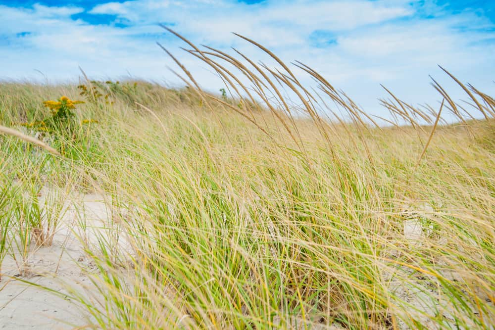 A close view of dense beach grasses amidst a clear blue sky
