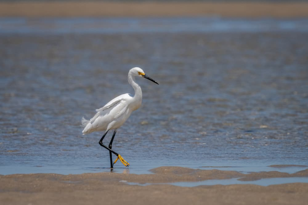 white egret bird standing next to shallow water on a beach at low tide