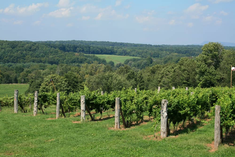 a small vineyard in the connecticut countryside during summer
