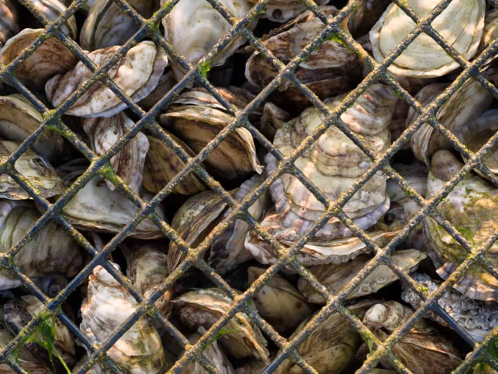 oysters close up in a cage