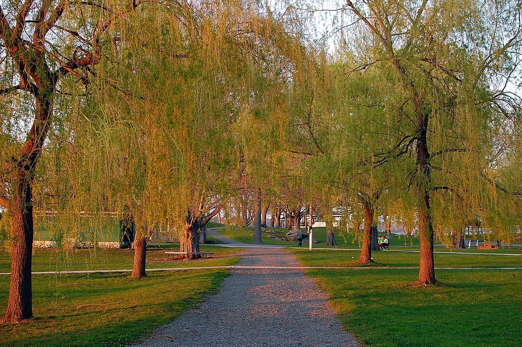 a wide path leads through a park with soft willow trees on both sides, summertime