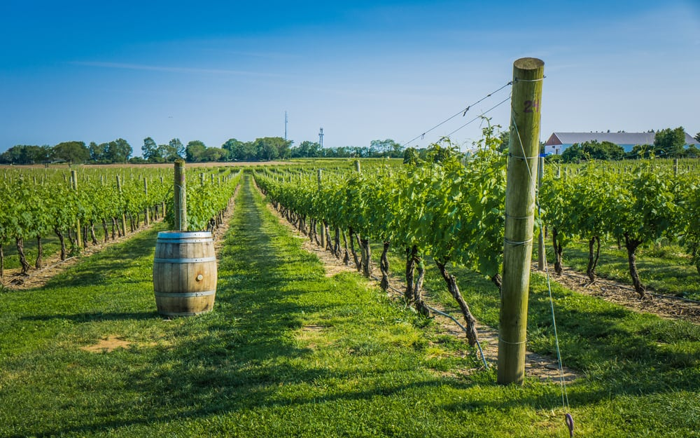 Green vineyard that goes on for miles