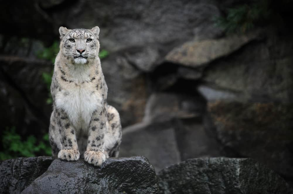 White snow leopard surrounded by dark rocks