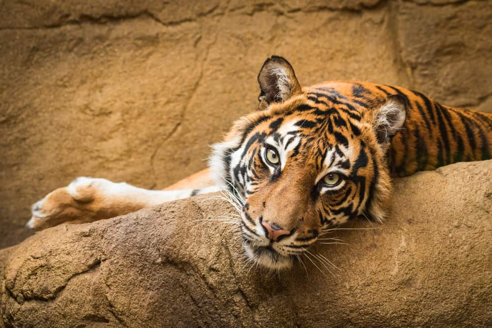 Tiger laying on a stone