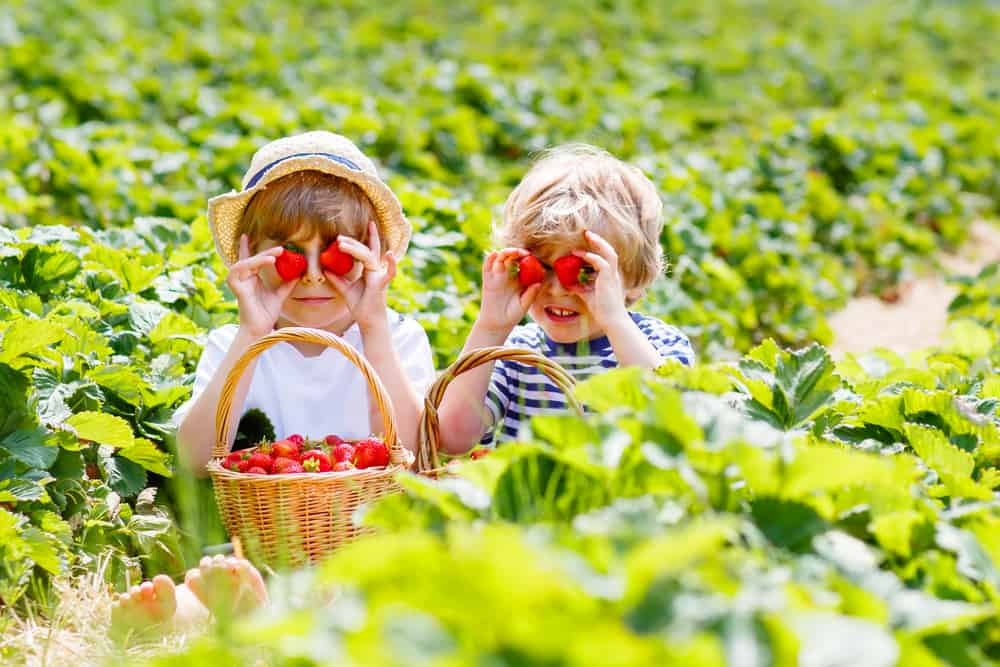 Two kids holding strawberries in a strawberry patch