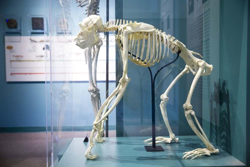 Monkey skeleton in a glass case