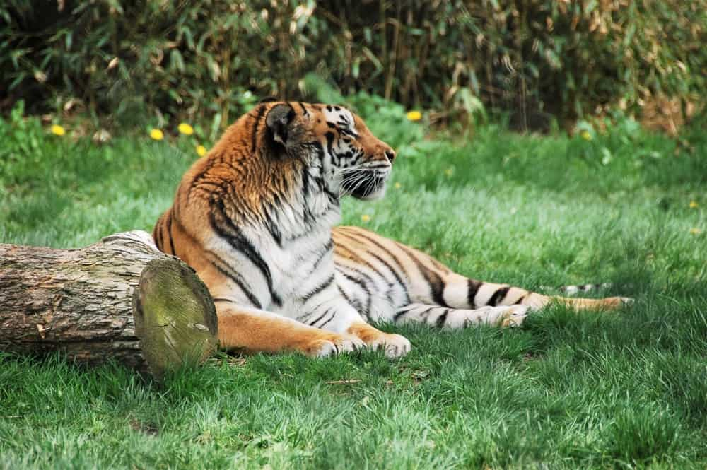 Tiger looking off into the distance in grass