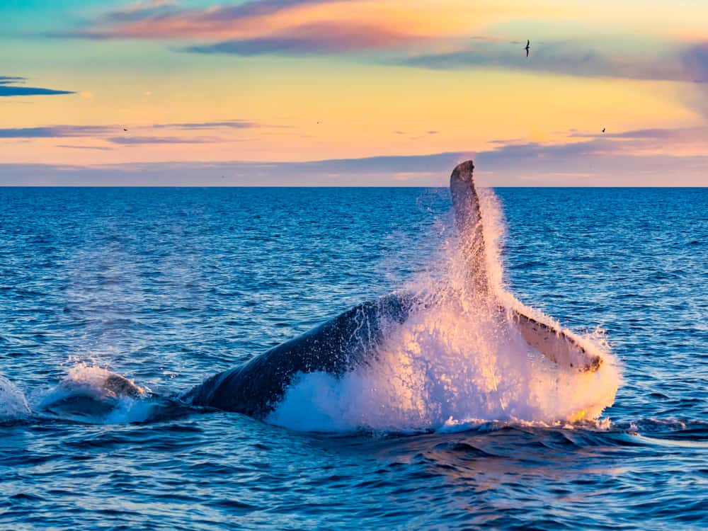 Whale jumping out of the water at sunrise