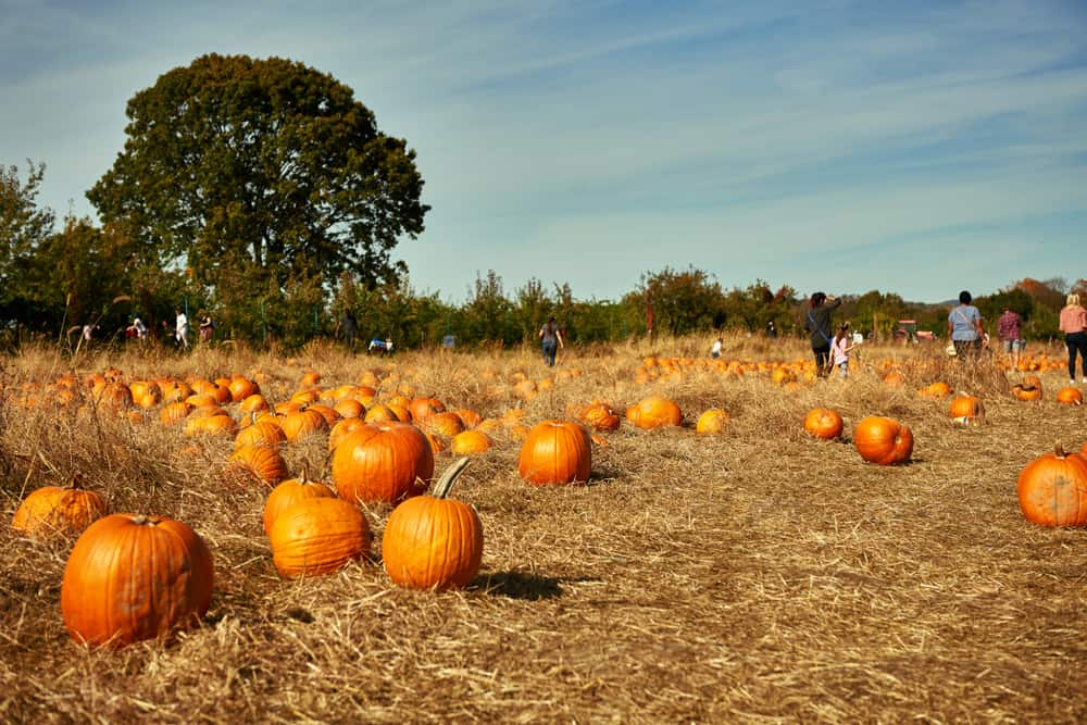 Pumpkin patch with people in it