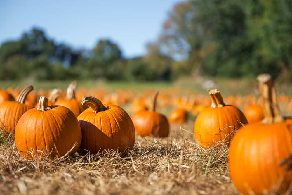 pumpkins in an empty patch