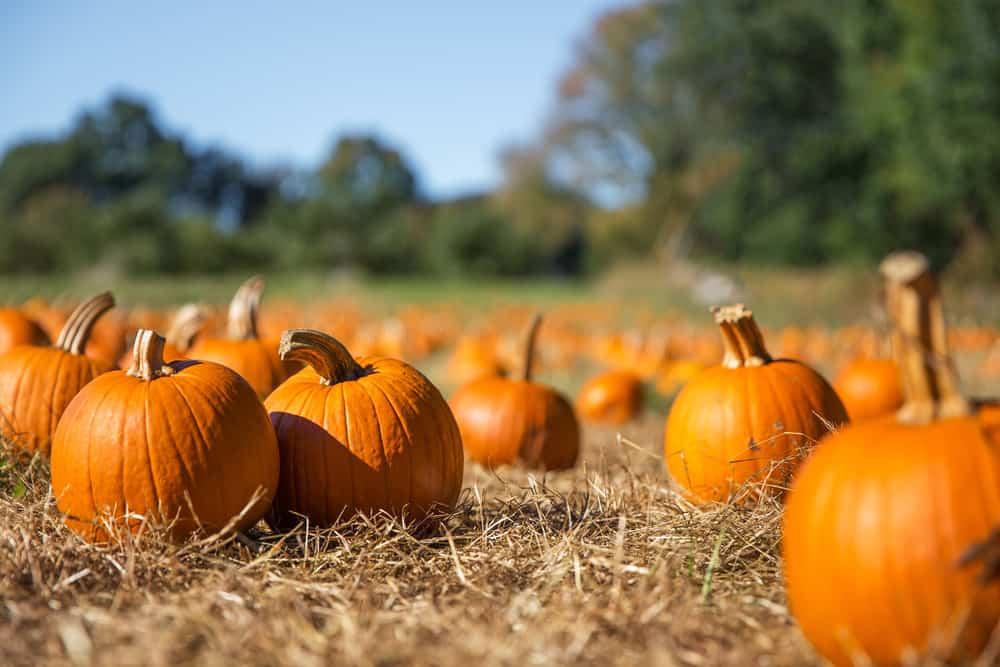 pumpkins up close in hay