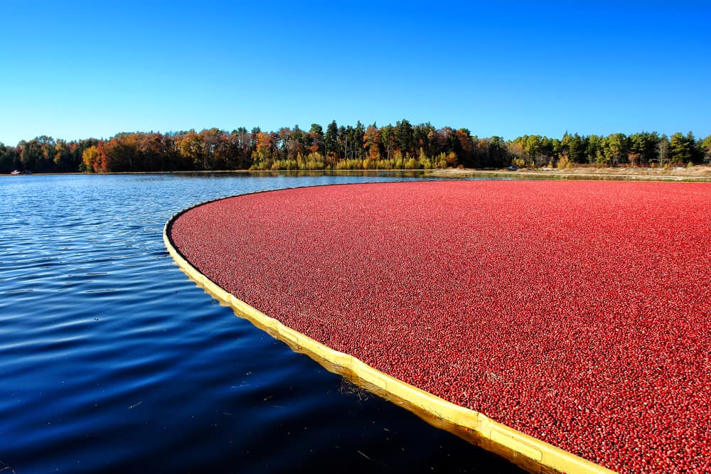 Cranberries in the water