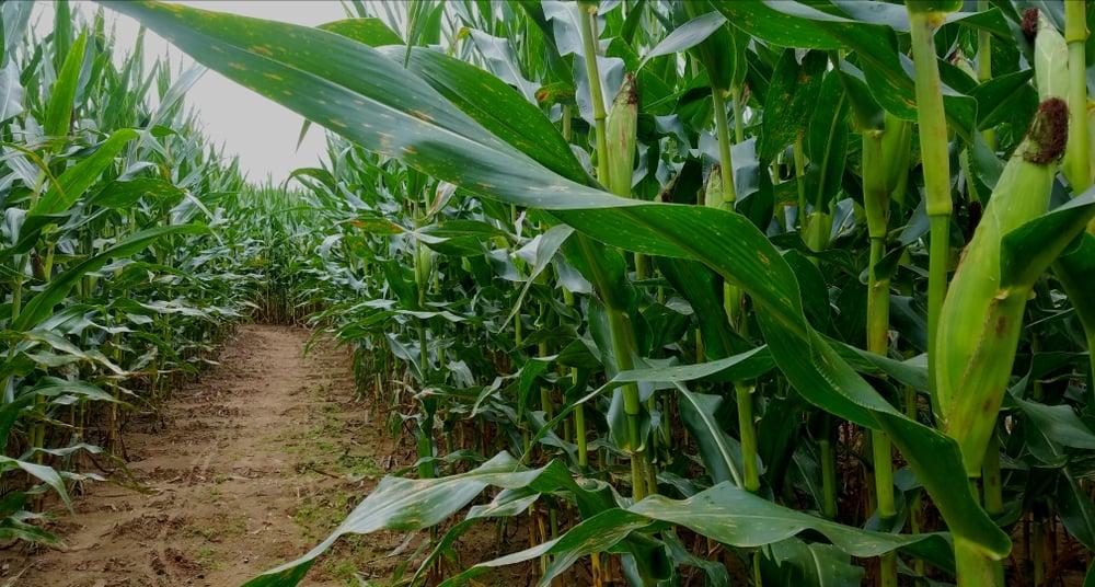 Empty corn maze