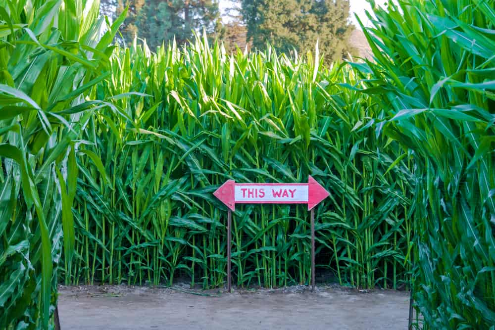 """Sign that says """"this way"""" in corn maze"""