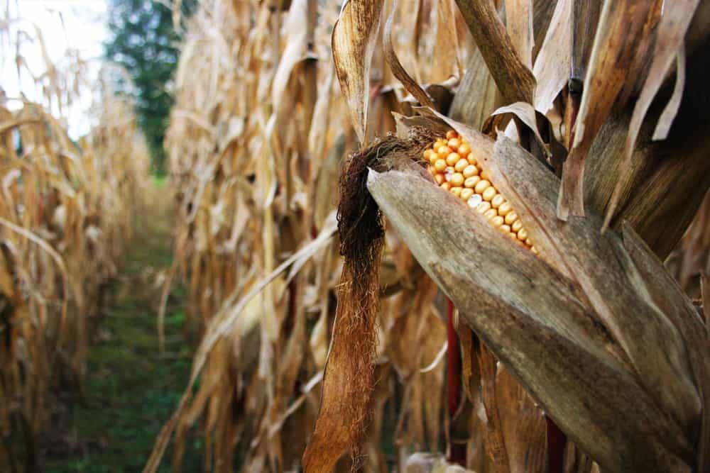 Closeup of corn in a corn maze