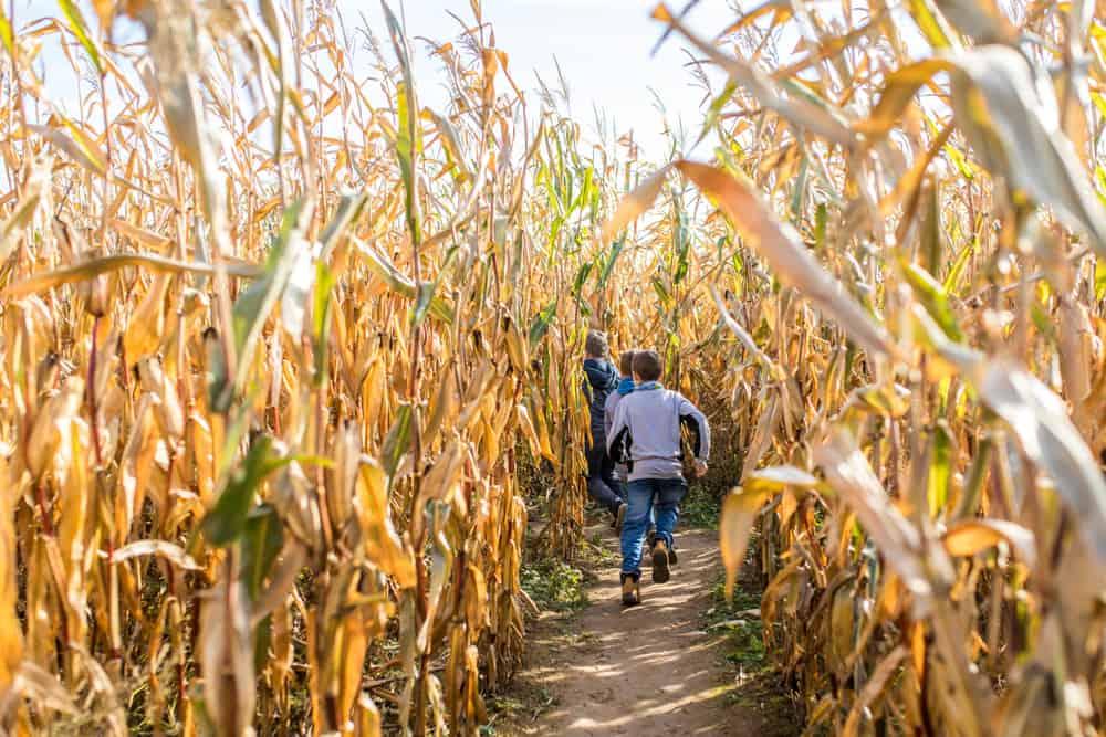 Children run in a corn maze