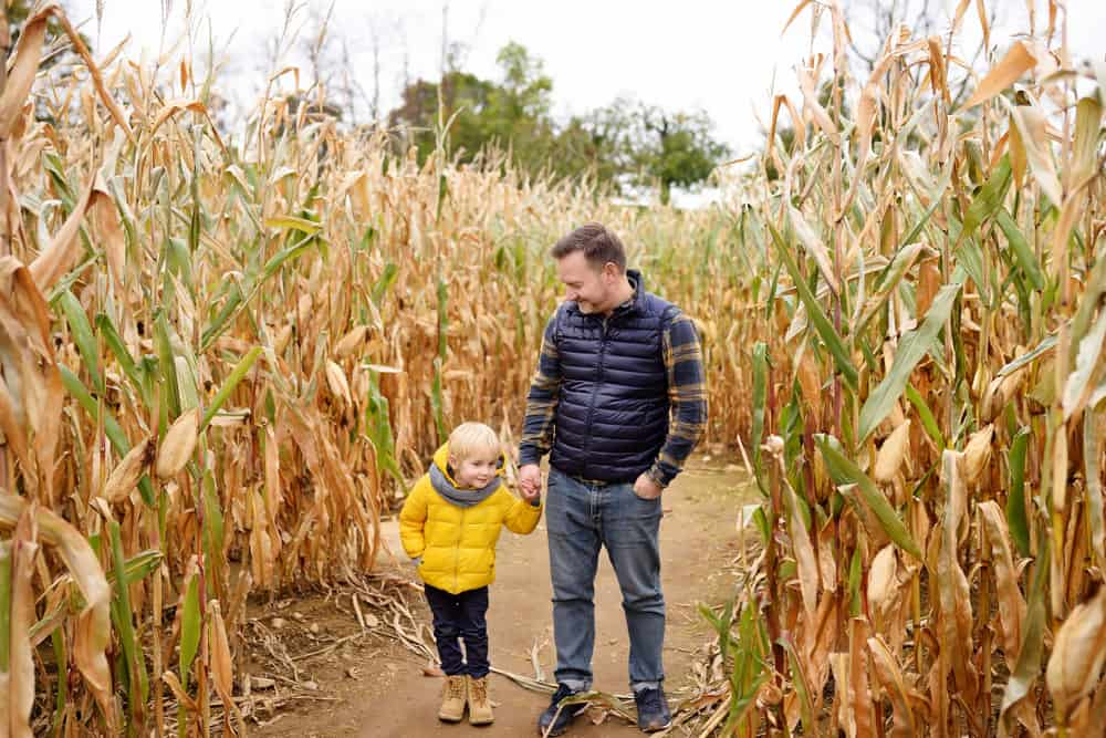 Father and child walking in a corn maze