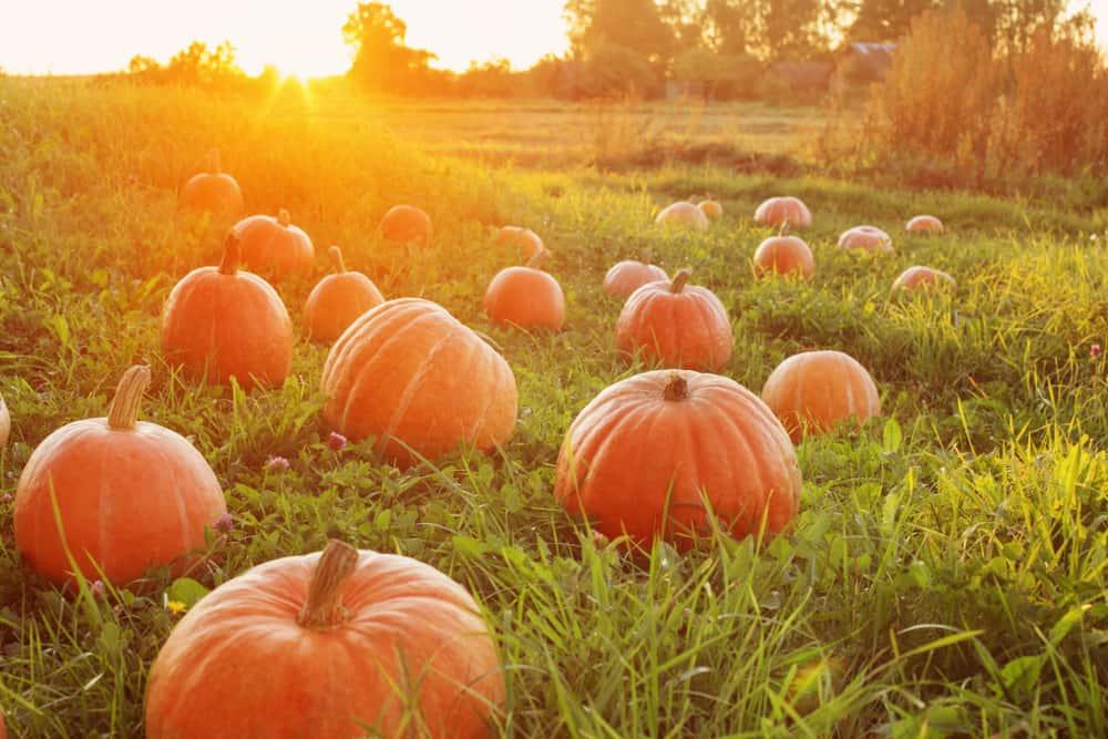 Pumpkins in grass at sunrise