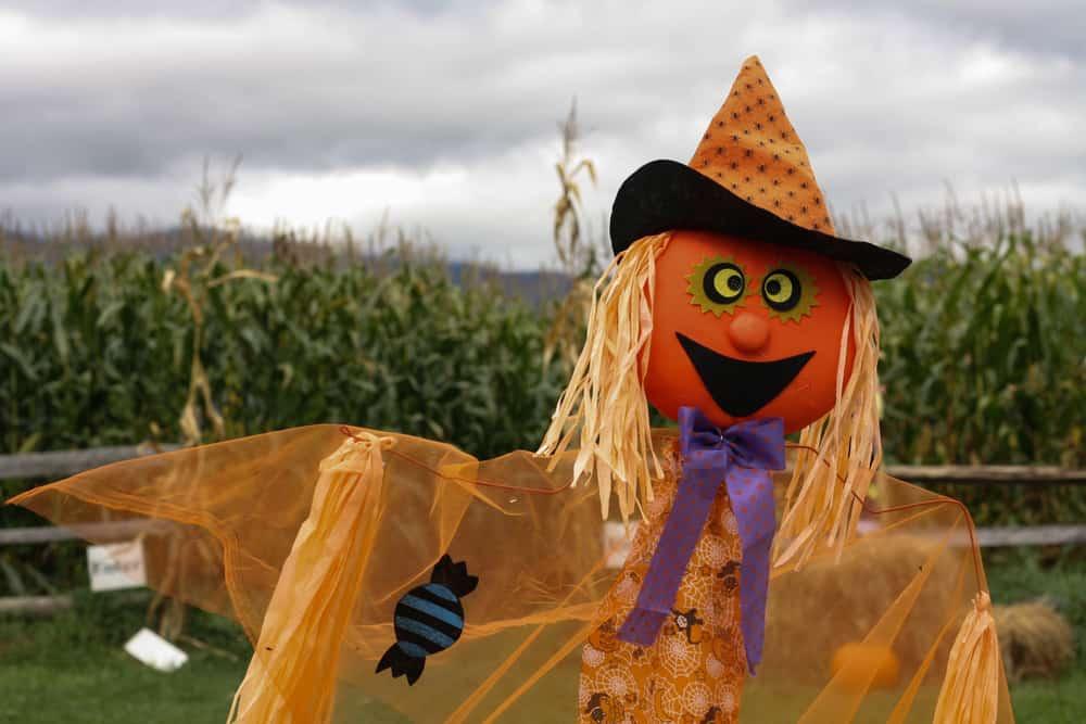 Scarecrow in a corn maze