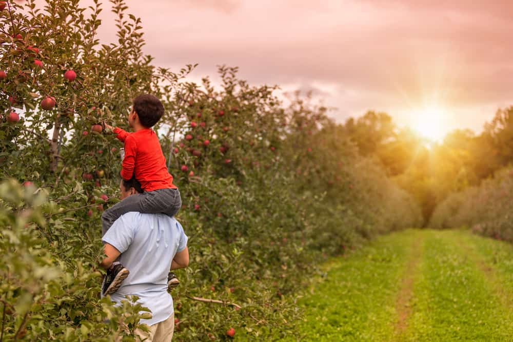 Father holding a son while he picks apples